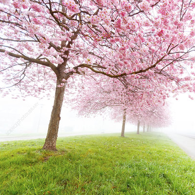 Cherry blossom on trees