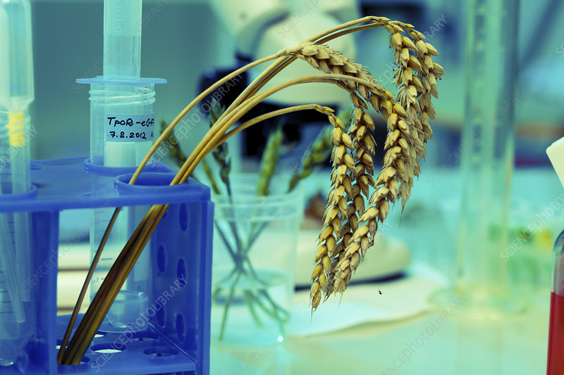 Wheat research in lab