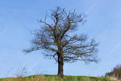 Dead tree in spring