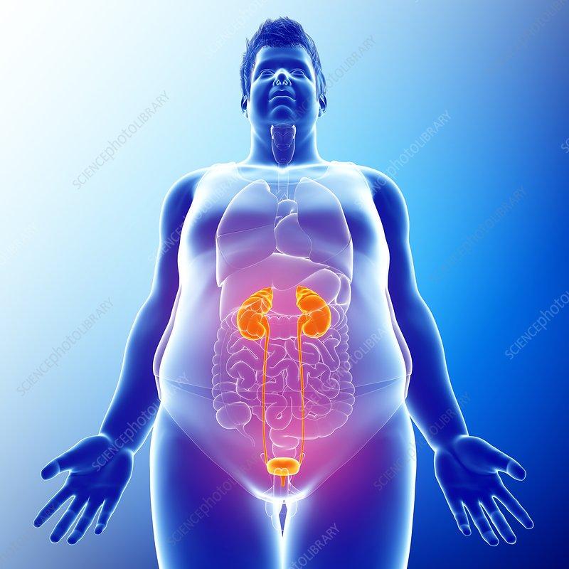 Human Kidneys Illustration Stock Image F0132440 Science
