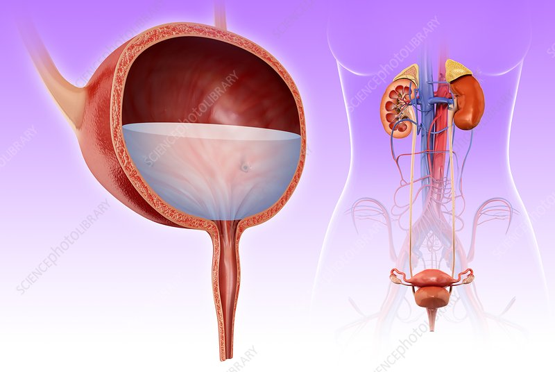 Human bladder, illustration