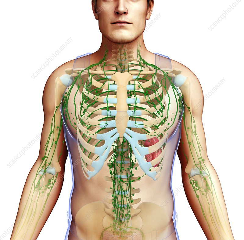 Human lymphatic system, illustration
