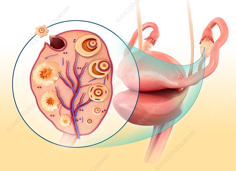 Ovarian cycle and ovulation, illustration