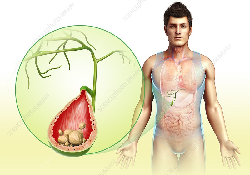 Human gall bladder, illustration