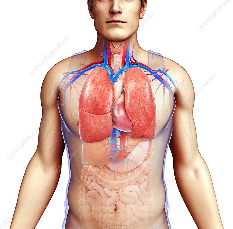 Human respiratory system, illustration