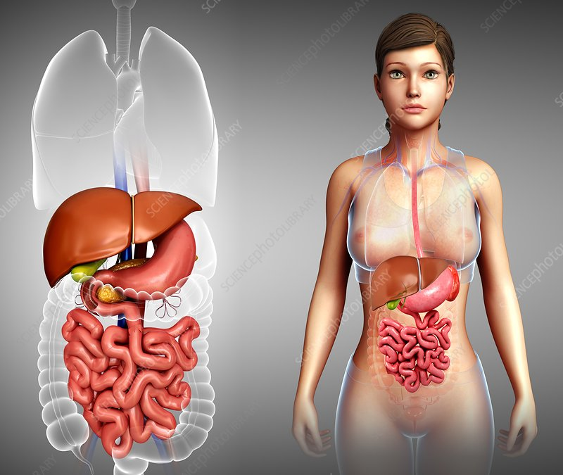 Human internal organs, illustration
