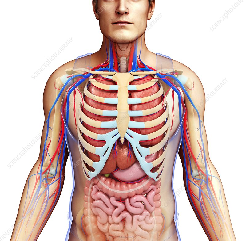 Human chest anatomy, illustration