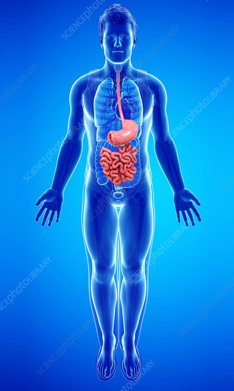 Human digestive system, illustration