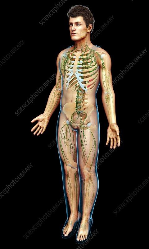Human lymphatic system, illustration
