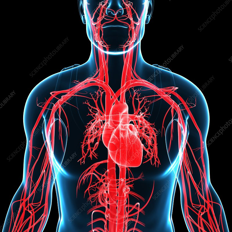 Human heart and arteries, illustration