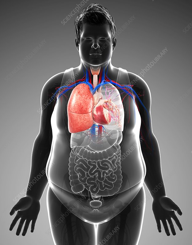 Human respiratory system, illustration