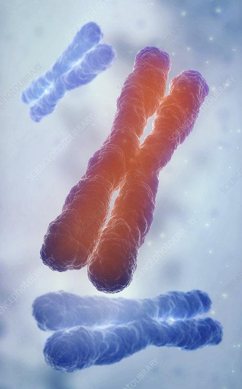 Human chromosomes, illustration