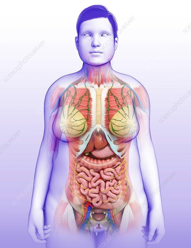 Female Internal Organs Illustration Stock Image F0132965