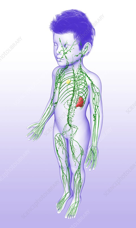 Lymphatic system of a child, illustration