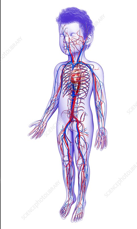 Cardiovascular system, illustration
