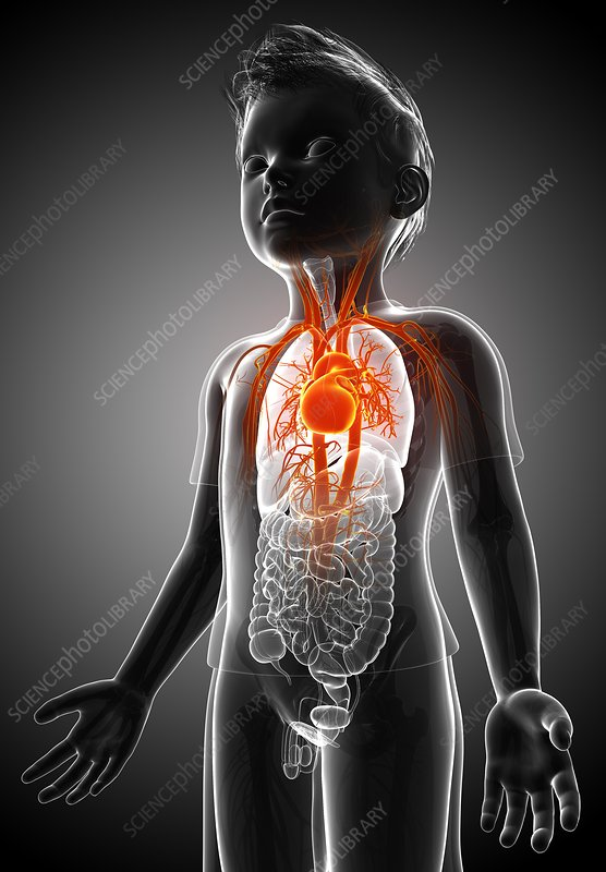 Vascular system of a child, illustration