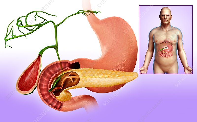 Human stomach and pancreas, illustration