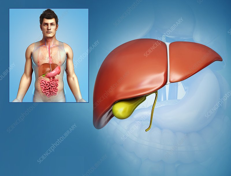 Human liver, illustration