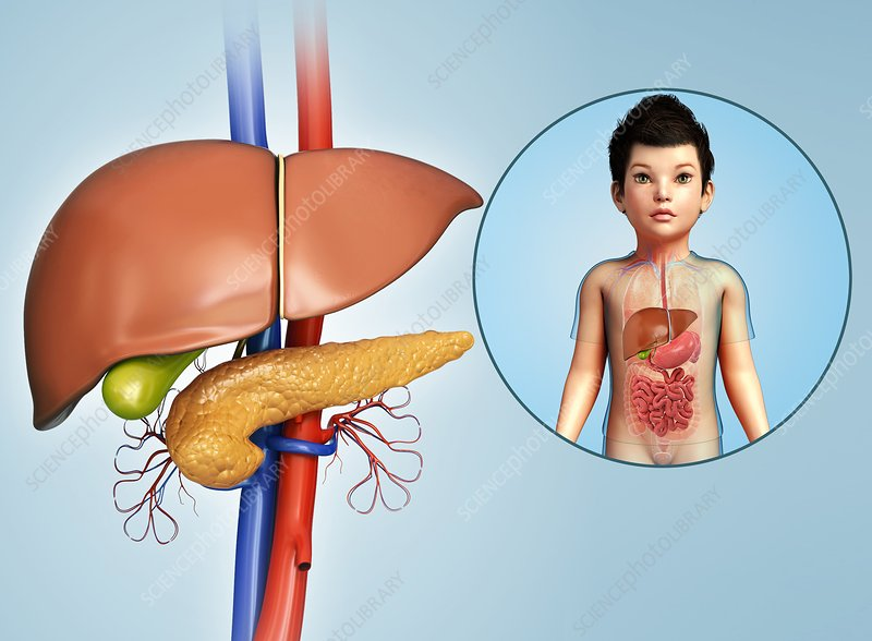 Internal organs of a child, illustration