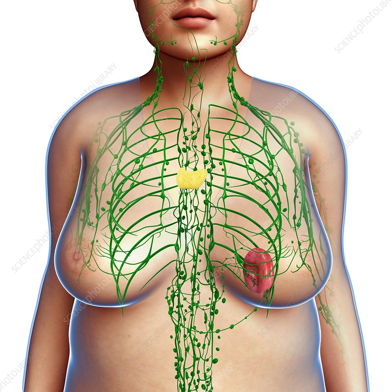 Female lymphatic system, illustration