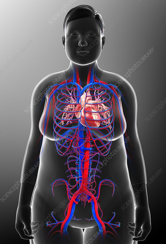Human circulatory system, illustration