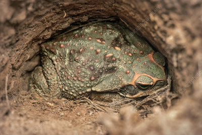 Giant toad hiding in a hole