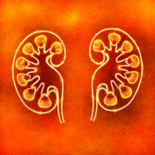 Human kidneys, illustration
