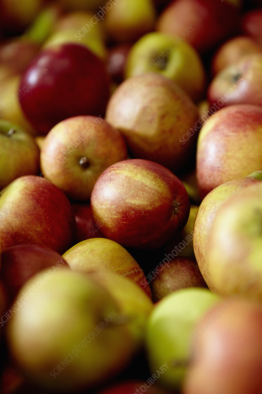 Apples with red orange and green skins
