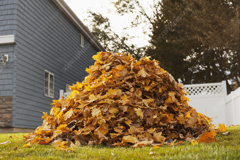 A huge pile of raked fallen autumn leaves