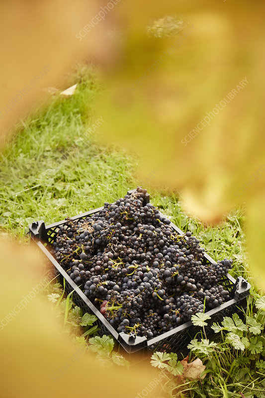 A crate of harvested bunches of grapes