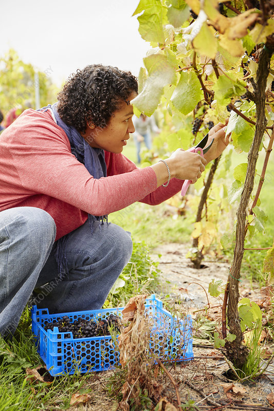 Grape picker selecting bunches of grapes