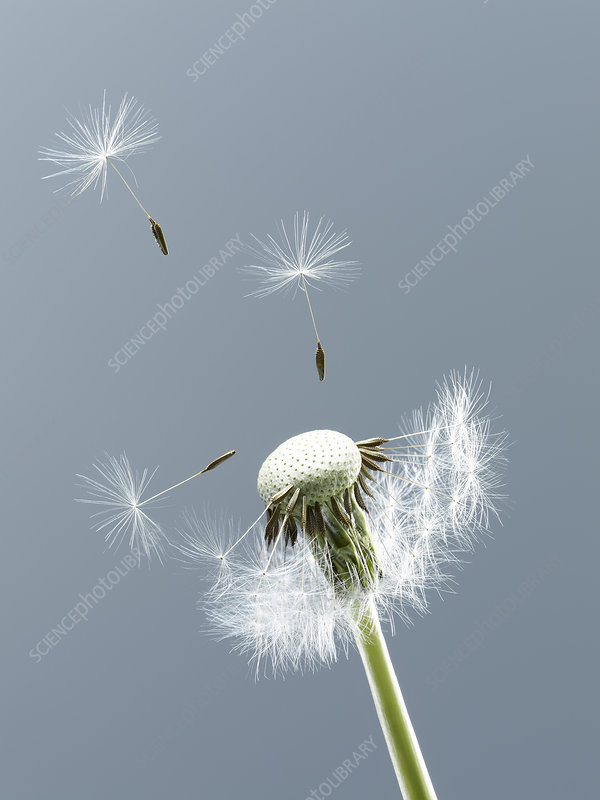 Close up of seeds blowing from dandelion