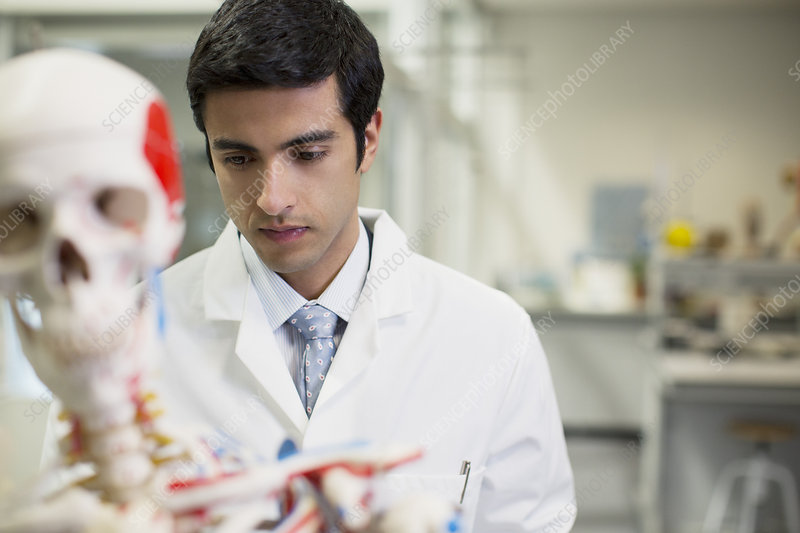 Scientist with anatomical model