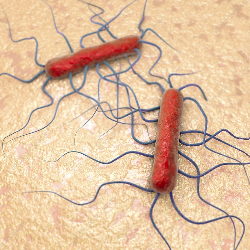 Listeria bacteria, illustration