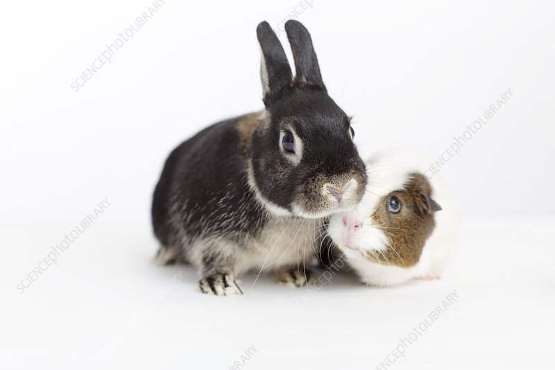 Rabbit and guinea pig meeting