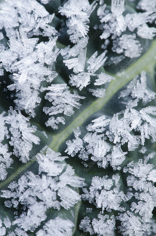 Frost crystals on dinosaur kale leaf