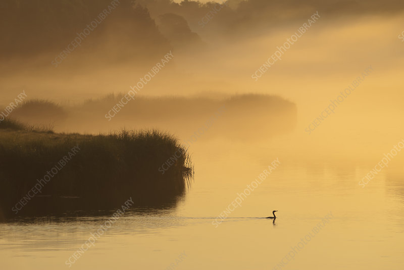 Silhouette of plants and bird in marsh