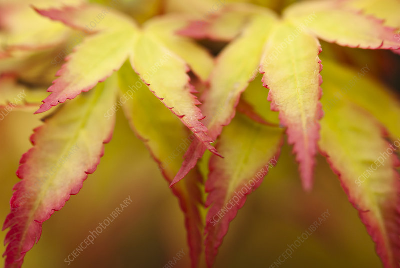 Close up of acer palmatum leaves