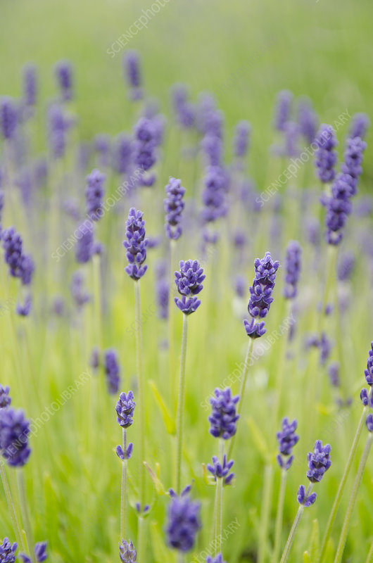 Close up of lavender flowers in field