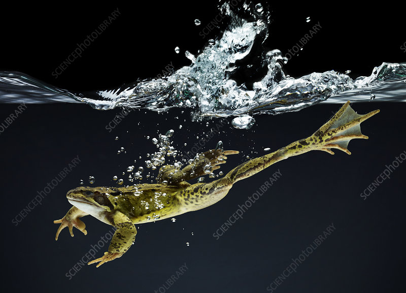 Frog swimming underwater