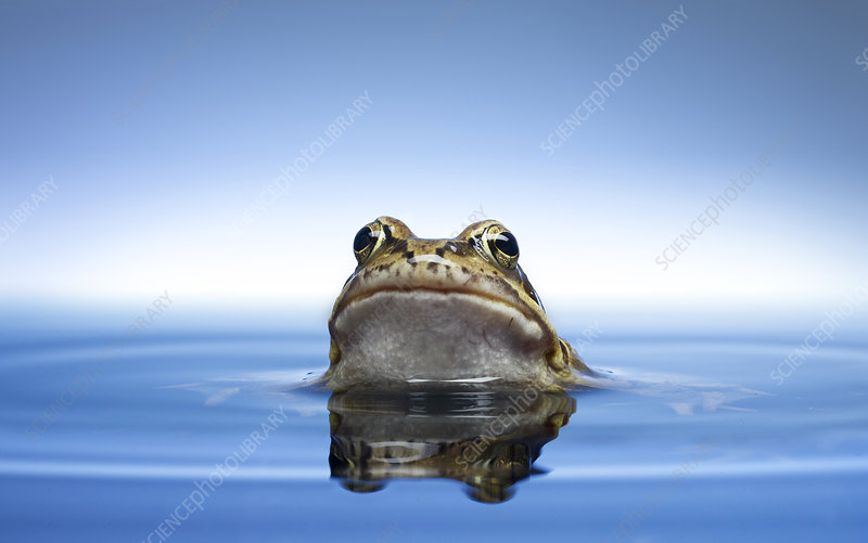 Frog peeking out of water