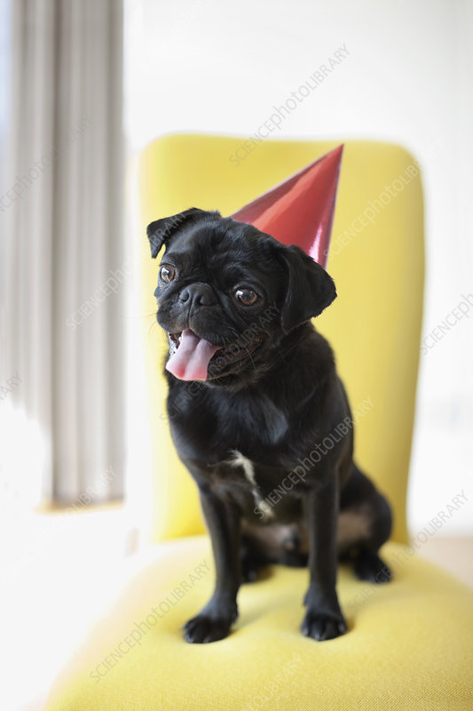Panting dog wearing party hat on chair