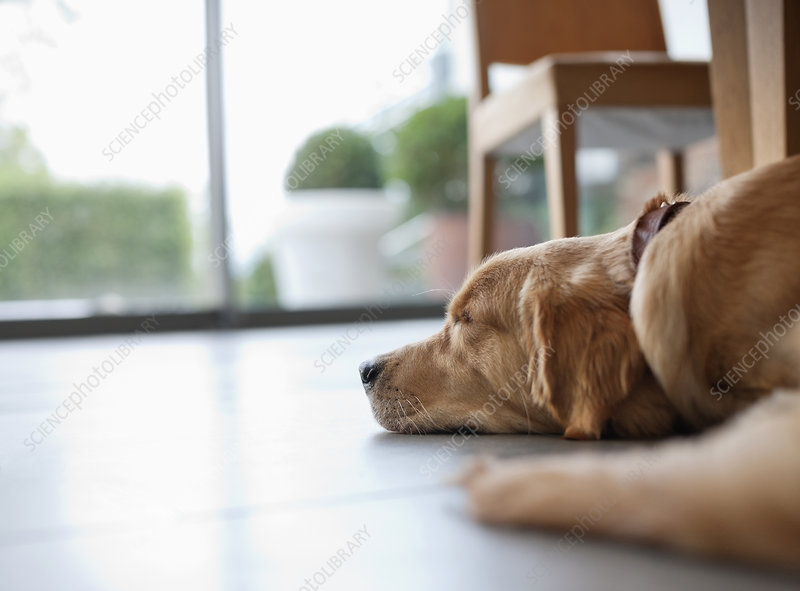 Dog Laying On Floor In Living Room Stock Image F013 7469 Science Photo Library