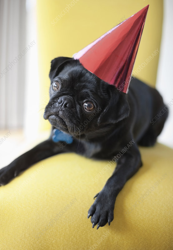 Dog wearing party hat on chair