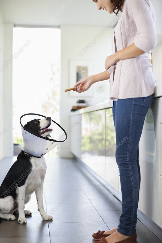 Woman giving dog in cone treat in kitchen