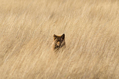 Red fox hiding in tall grass