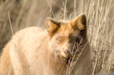 Red fox prowling in tall grass