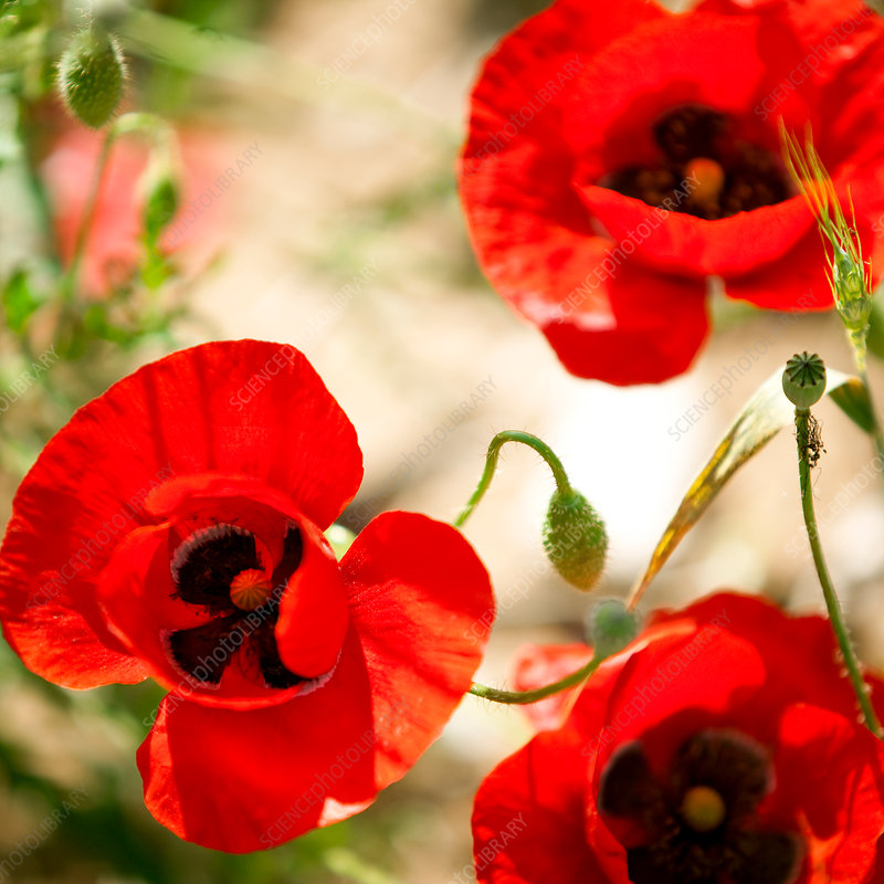 Close up of red poppy flowers