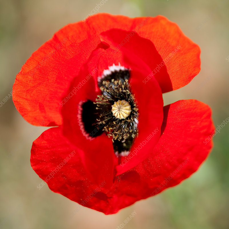 Extreme close up of red poppy flower