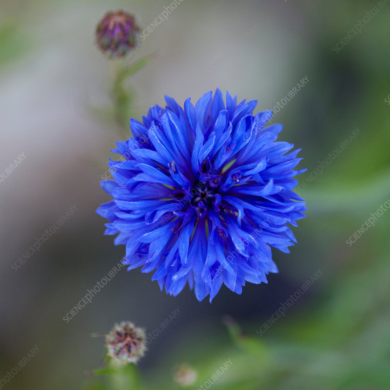Close up of blue cornflower